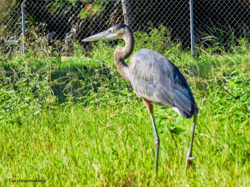 younger-great-blue-heron-henry-ud87