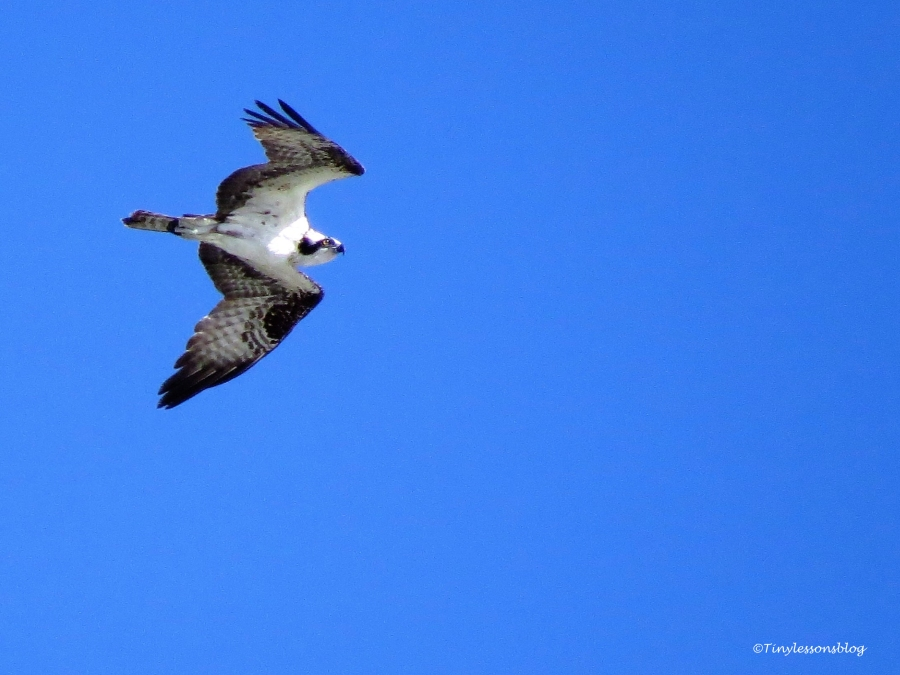 another-male-osprey-ud89
