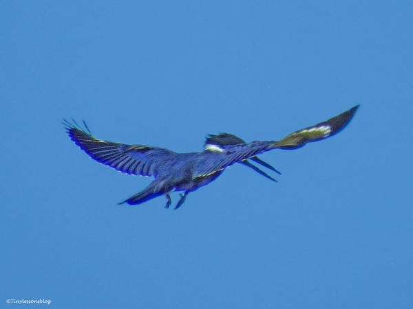 belted-kingfisher-hovers-over-the-salt-marsh-ud89