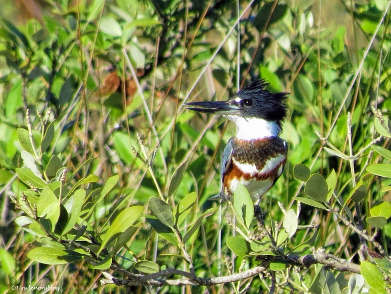 belted-kingfisher-ud89