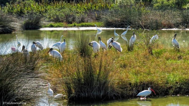 birds-at-salt-marsh-ud91
