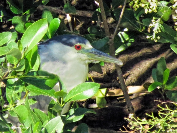 black-crowned-night-heron-ud89