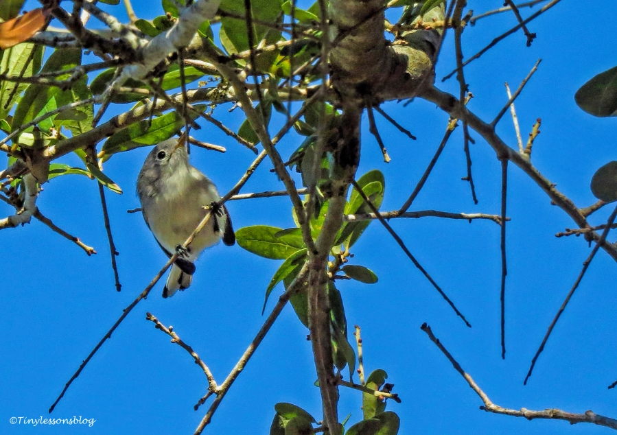 blue-gray-gnatcatcher-2-juvenile-ud91