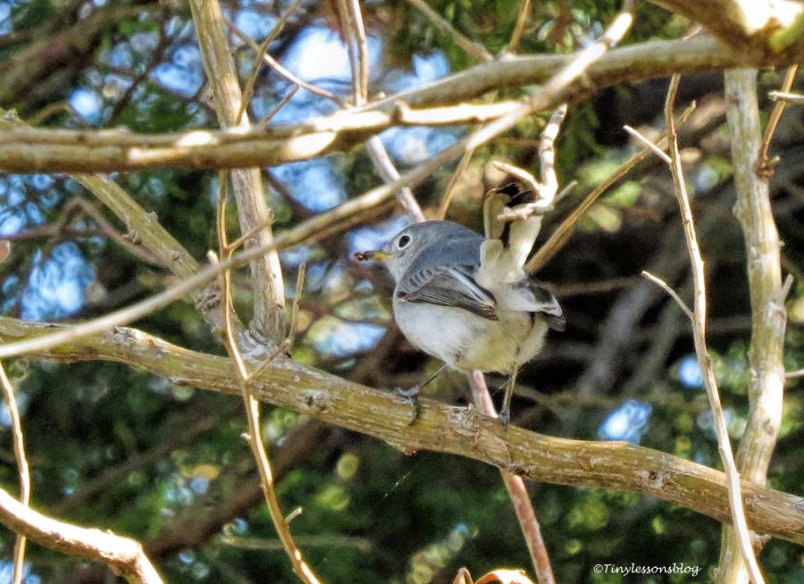 blue-gray-gnatcatcher-juvenile-ud91
