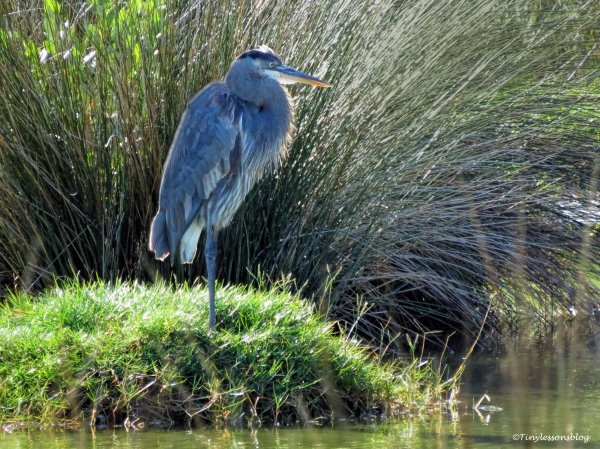 great-blue-heron-mayor-ud89
