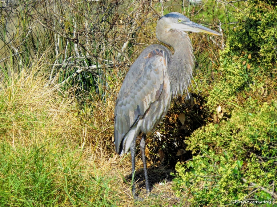 great-blue-heron-the-mayor-ud90
