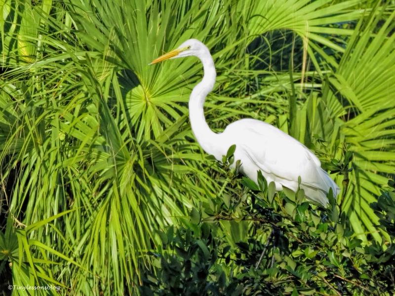 great-egret-2-ud90