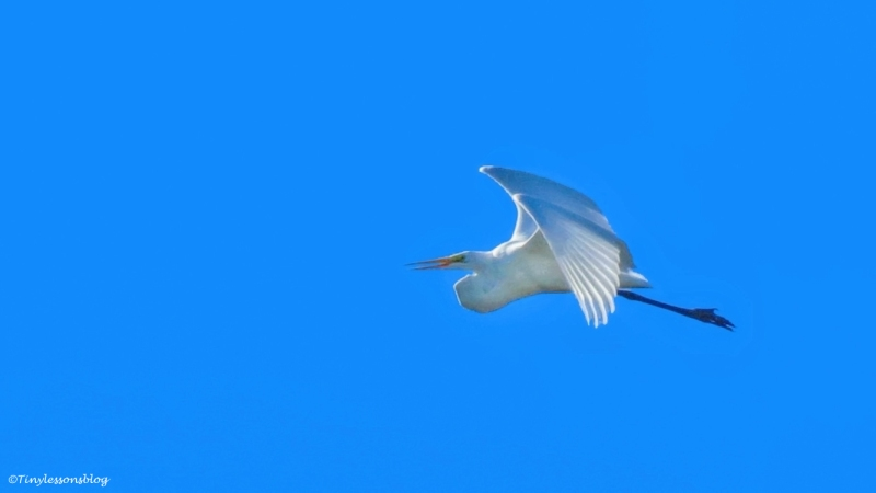 great-egret-flies-away-ud89