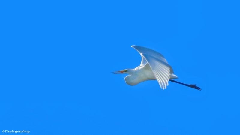 great-egret-flies-away-ud89