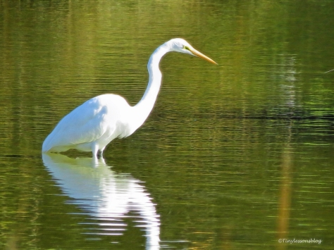 great-egret-ud89