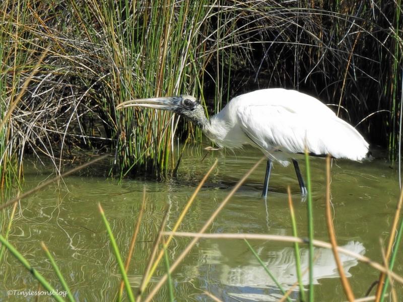 juvenile-wood-stork-ud91