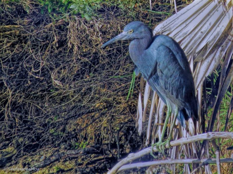 little-blue-heron-2-ud90