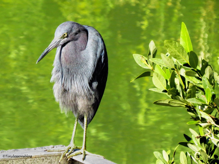 little-blue-heron-ud90