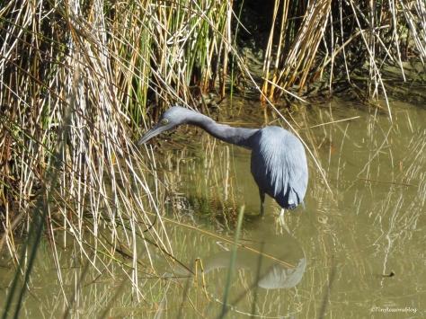 little-blue-heron-ud91