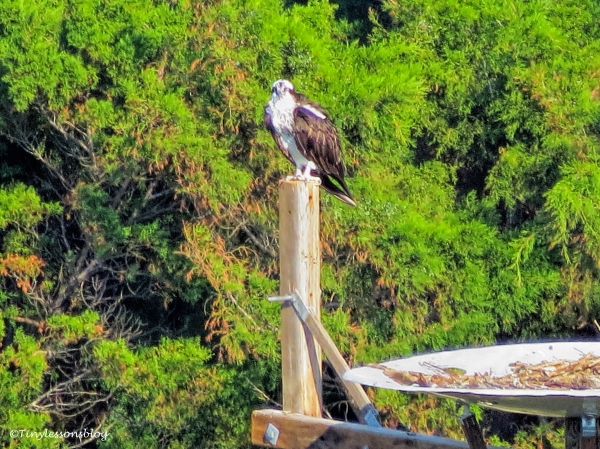 mama-osprey-at-her-new-nest-ud91