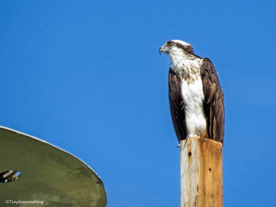 mama-osprey-at-the-new-nest-ud90