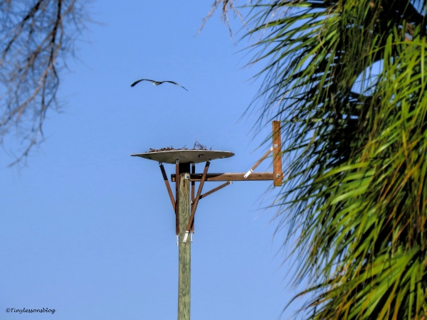 mama-osprey-flies-by-the-nest-ud90