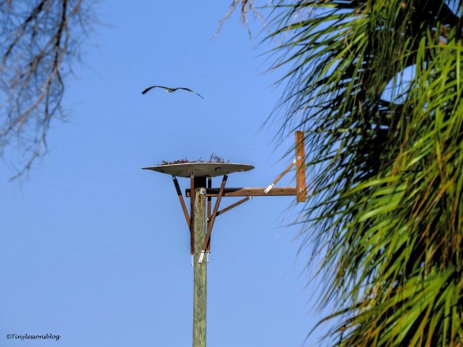 mama-osprey-flies-by-the-nest-ud90