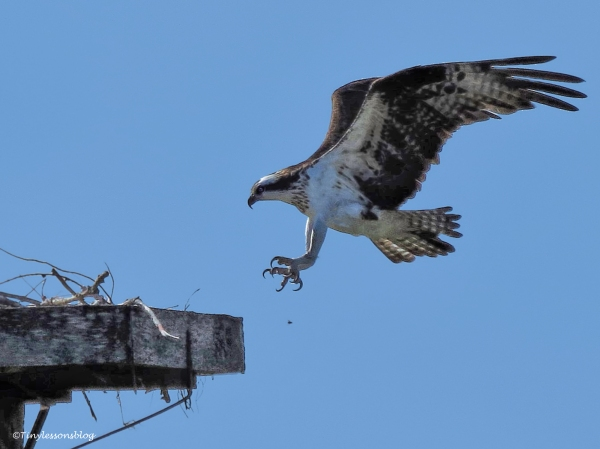 mama-osprey-lands-in-the-nest-ud89