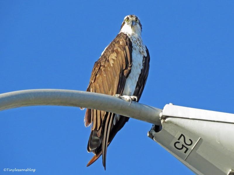 mama-osprey-morning-after-ud90