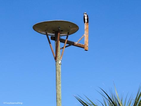 mama-osprey-on-the-perch-ud90