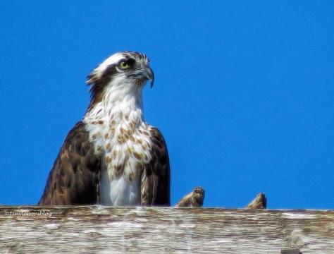 mama-osprey-ud89