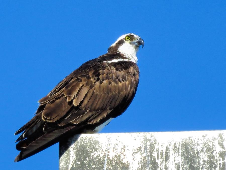 mama-osprey-ud91