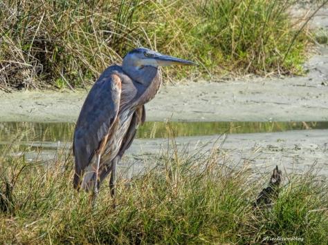 older-blue-heron-mayor-ud91