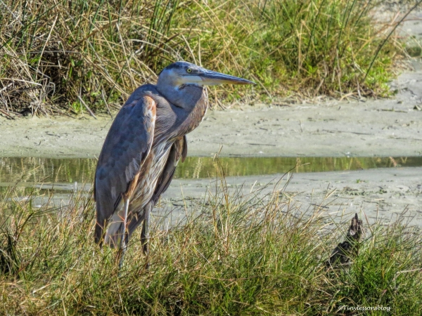 older-blue-heron-mayor-ud91