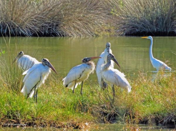 older-wood-storks-ud91