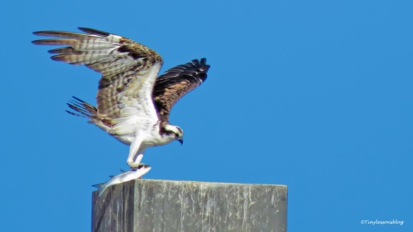 papa-osprey-caught-a-fish-ud89