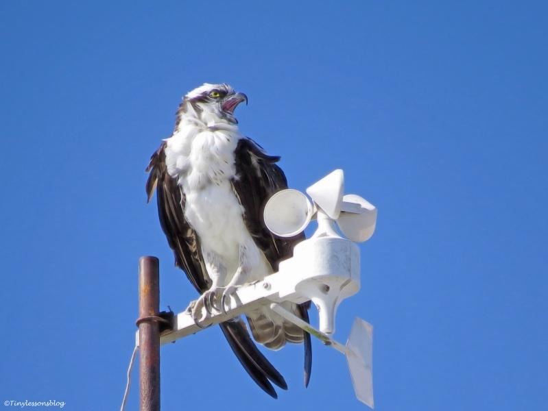 papa-osprey-sounds-alarm-ud89