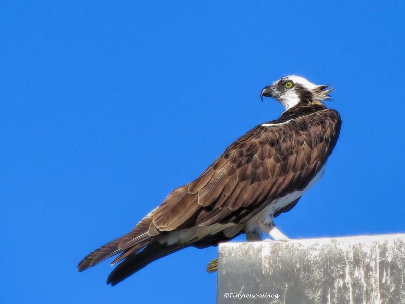 papa-osprey-ud91