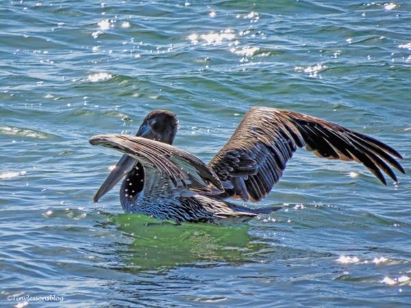 pelican-2-ud89