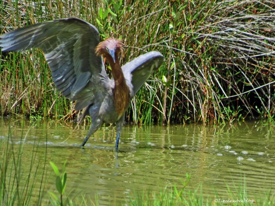 reddish-egret-hunting-ud91