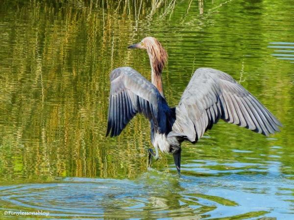 reddish-egret-hunts-ud90