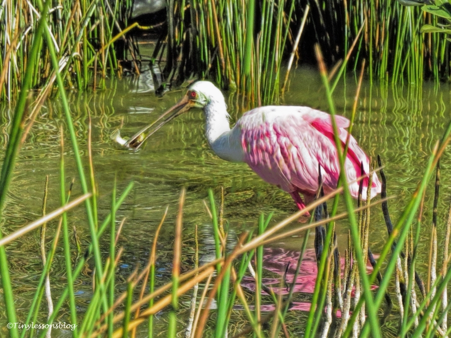 roseate-spoonbill-caught-a-fish-2-ud91