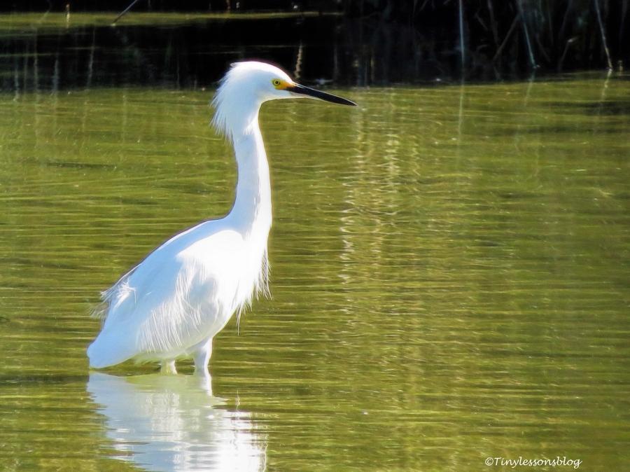 snowy-egret-ud91