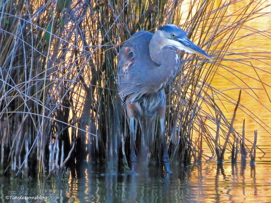the older great blue heron mayor ud90.jpg