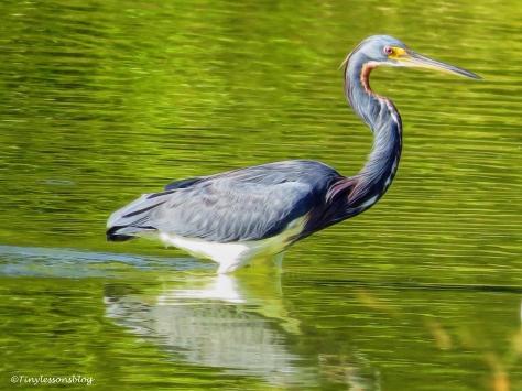 tri-colored-heron-ud91