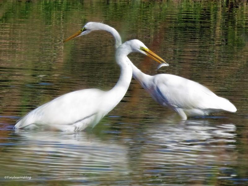 two-egrets-ud91