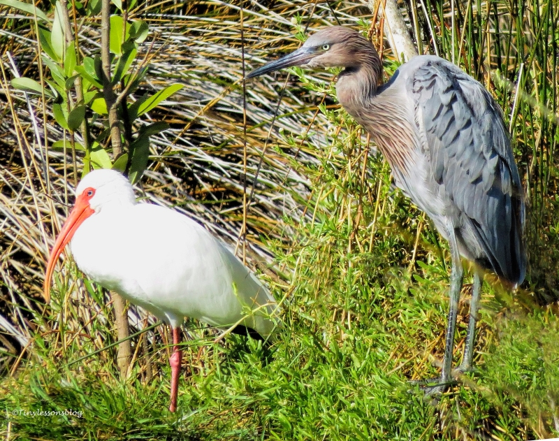 white-ibis-and-reddish-egret-ud90