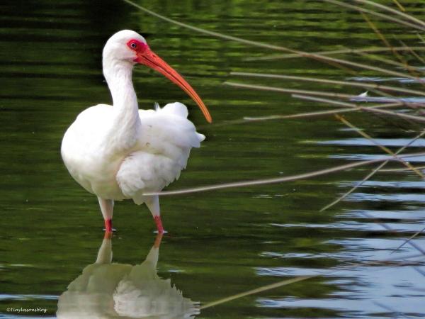 white-ibis-ud90
