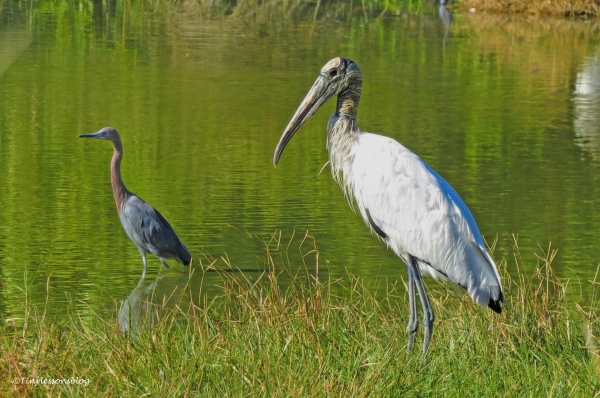 wood-stork-and-reddish-egret-2-ud91