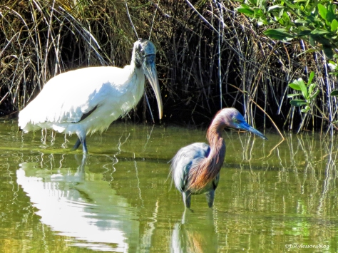 wood-stork-and-reddish-egret-3-ud91