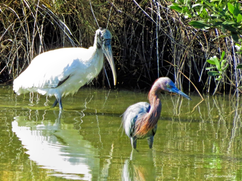wood-stork-and-reddish-egret-3-ud91