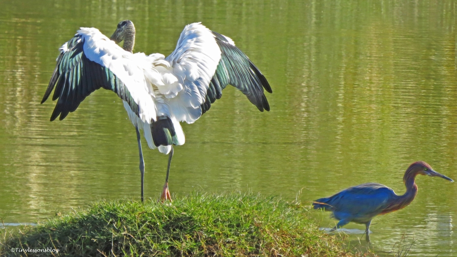 wood-stork-and-reddish-egret-ud91
