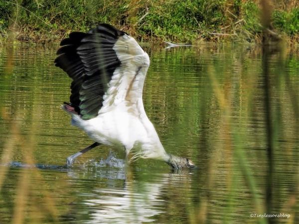 wood-stork-fishing-ud91