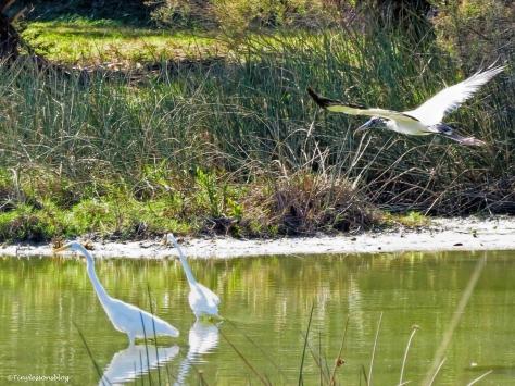 wood-stork-flies-away-ud91