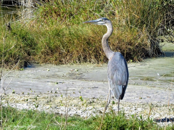 younger-great-blue-heron-ud91